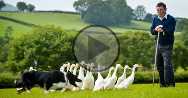 Herding Ducks