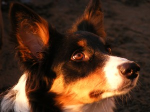 jasmine border collie