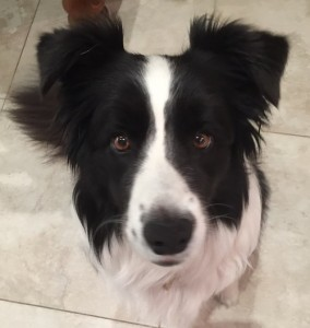 black white border collie dog