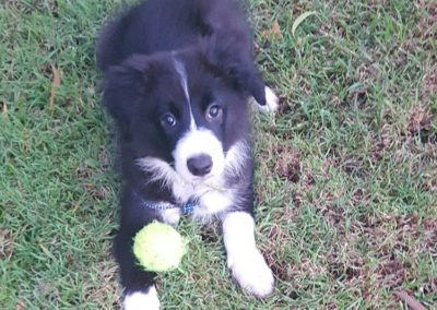Meet Hugo!  An Aussie Border Collie Puppy