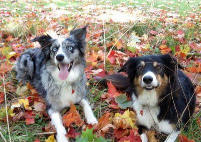 Meet Misty and Fly the Tri-Coloured Border Collies!