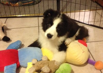 Misty the Border Collie Puppy