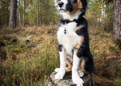 Rapha is a proud, 13 week old border collie living in Dorset, UK