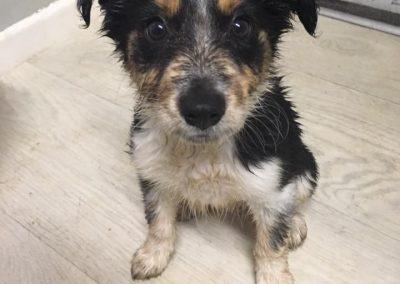 Shelby the Border Collie Puppy Enjoys the Rain