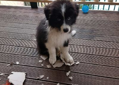 Zaffy the Border Collie Puppy