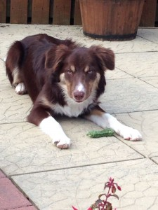 brown and white border collie