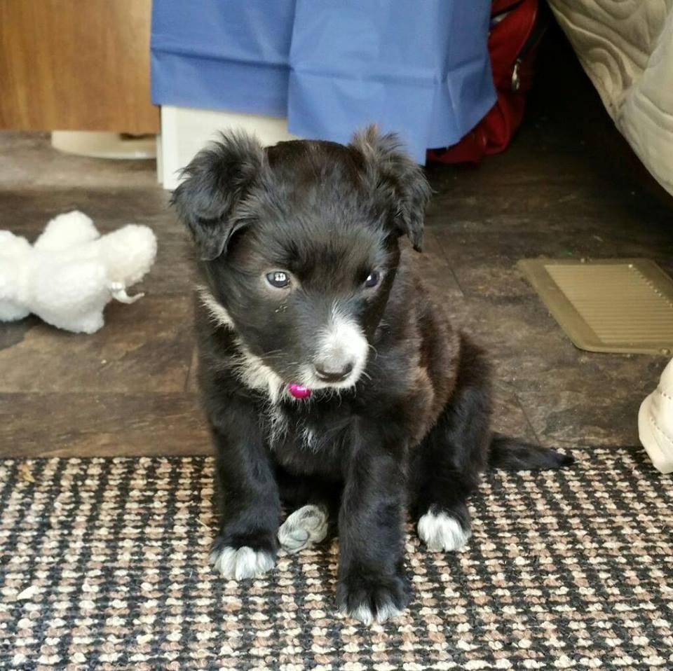 Black Border Collie Puppy