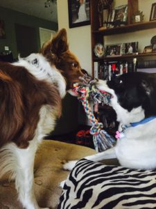 two border collies playing