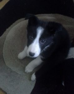 Shelly the Border Collie