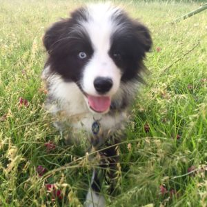 black white border collie