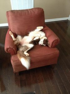 sleeping border collie