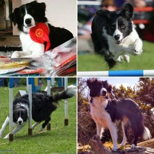 border collie picture collage