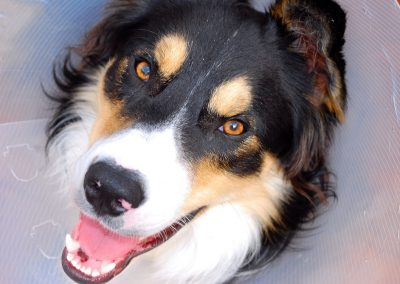 Luther the Border Collie Wearing the Cone of Shame smile