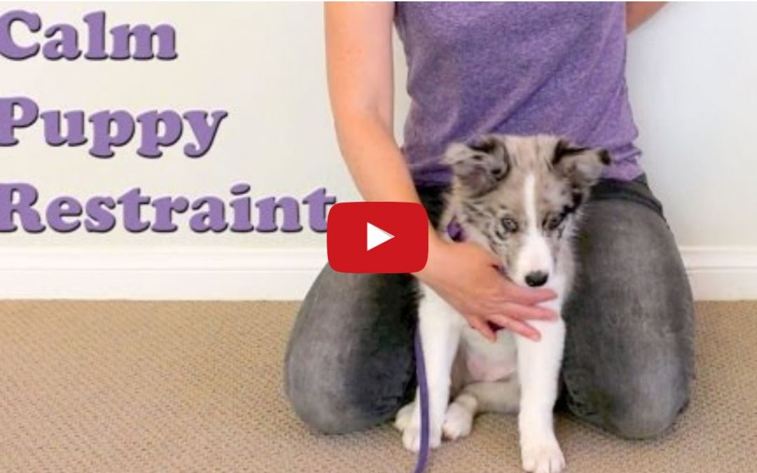 Great Puppy Restraint Teaching Technique for Border Collie Puppies