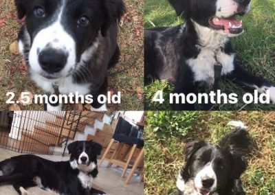 Freddie the Border Collie is Growing Up