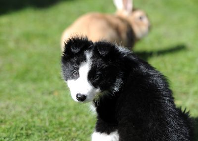 Mika the Border Collie Puppy