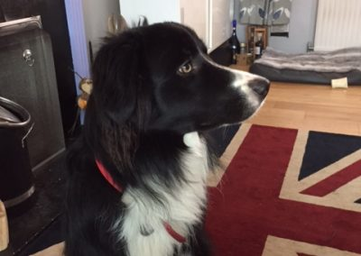 George the Border Collie