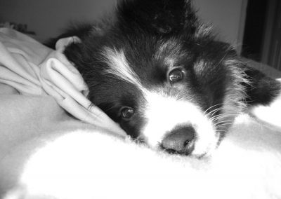 Piper is a Caring Border Collie Puppy