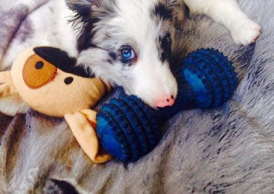 Shadow the Blue Merle Border Collie Puppy