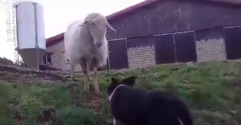 Border Collie vs. Sheep