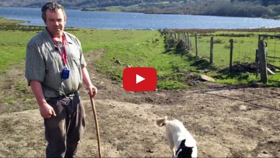 A Real Working Border Collie Sheepdog in Action