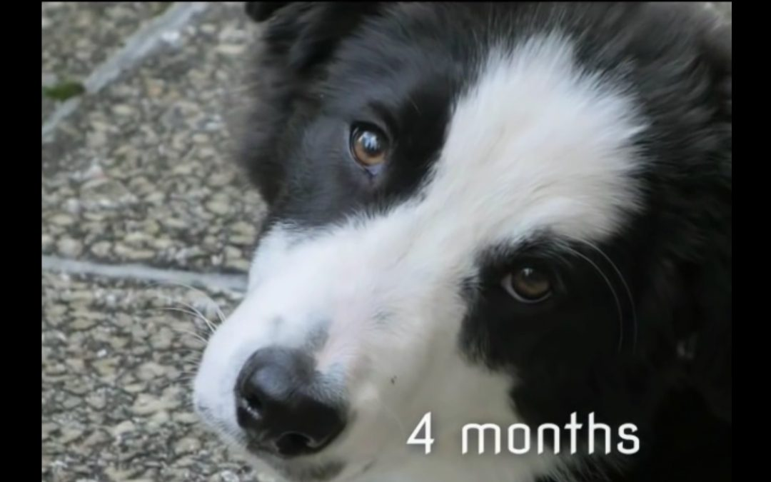 Border Collie Grows Up!