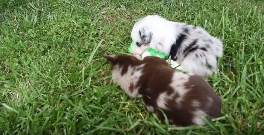 Puppies Sharing A Toy