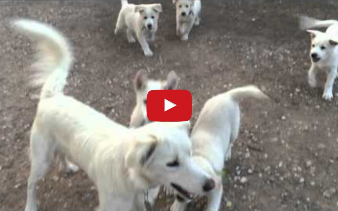 Blonde Border Collie Puppies Playing