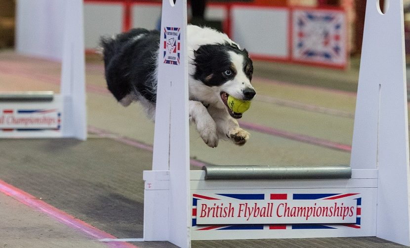 A Border Collie's Journey to Flyball – Sasha's Story
