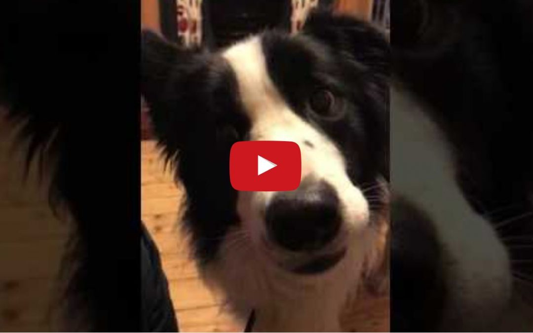 Benji Gives You That Familiar Border Collie Stare!