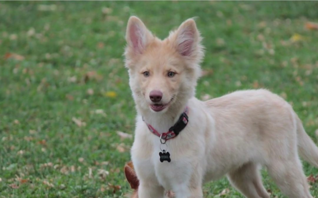 Adorable Border Collie & German Shepherd Mix