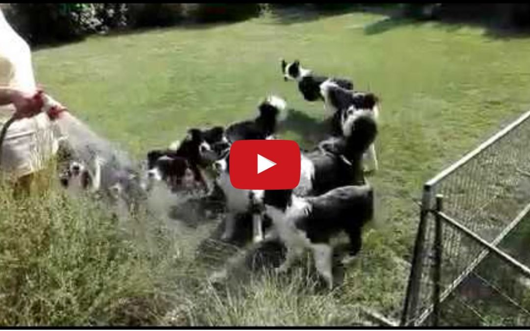 Border Collies Playing with Water Hose