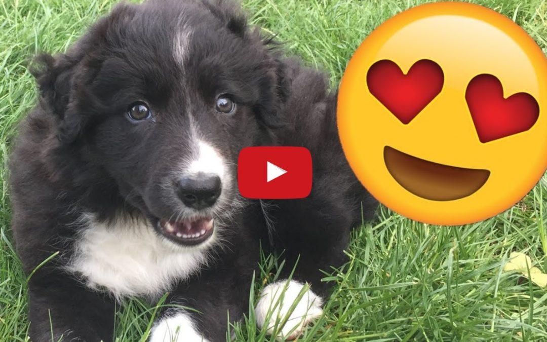 Scottish YouTuber Adopts New Border Collie Puppy
