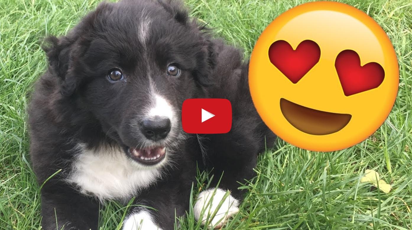 Scottish YouTuber Adopts New Border Collie Puppy   Border ...
