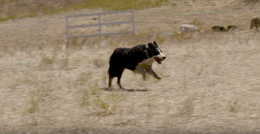Border Collie Dogumentary