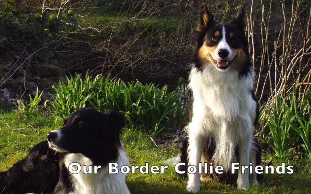 Border Collie Friends