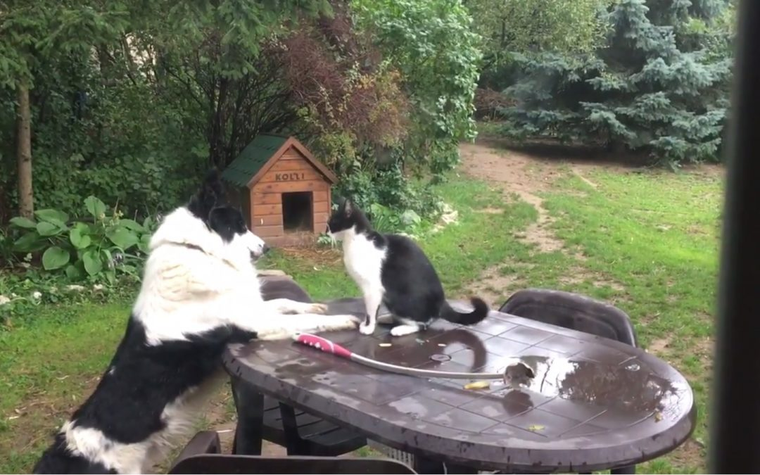 Border Collie Kolli Plays with Manó the Cat