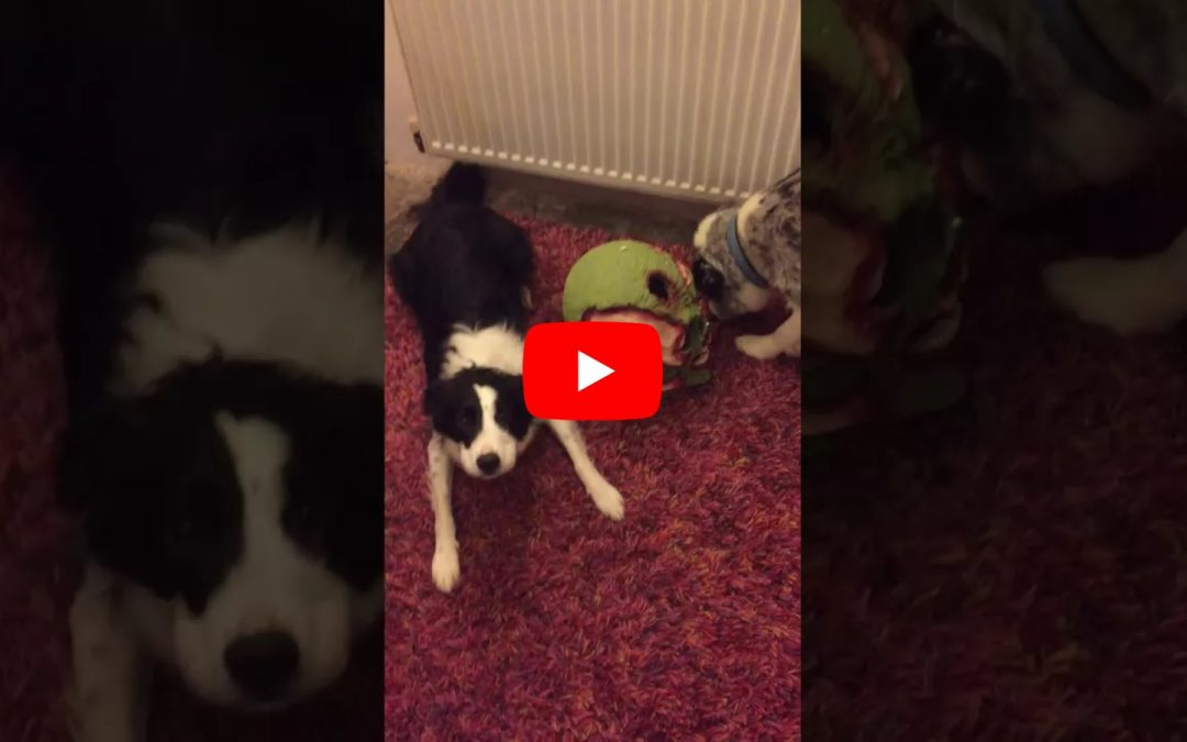 Border Collie Sings 'How Much Is that Doggie in the Window?'