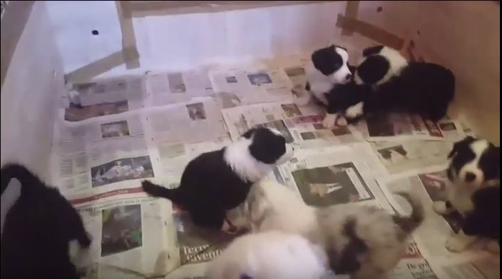 Baby Border Collies