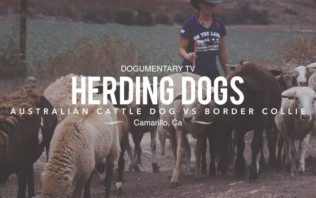 Great Film by Dogumentary TV – Border Collie Versus Australian Cattle Dog