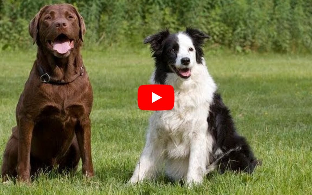 Border Collies Vs Labrador Retrievers Video Compilation