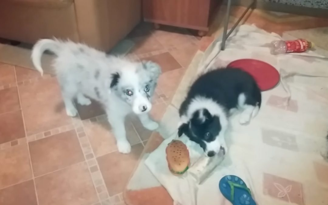 Cute 11 Week Old Border Collie Puppies