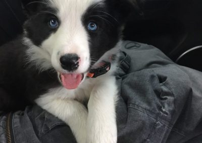 Brooklyn the Border Collie Puppy