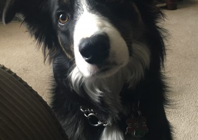 Jackos the Border Collie from Calgary