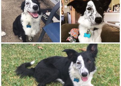 Olive the Border Collie
