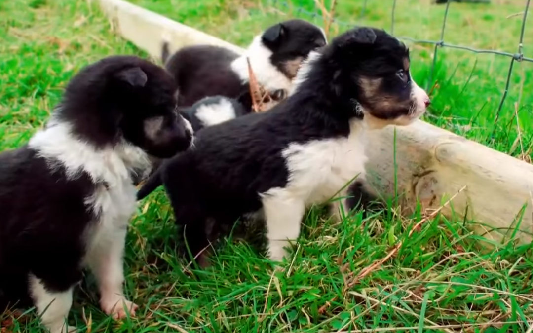 Ireland's RTÉ One Presents the World's Cutest Working Sheep Herding Puppies!