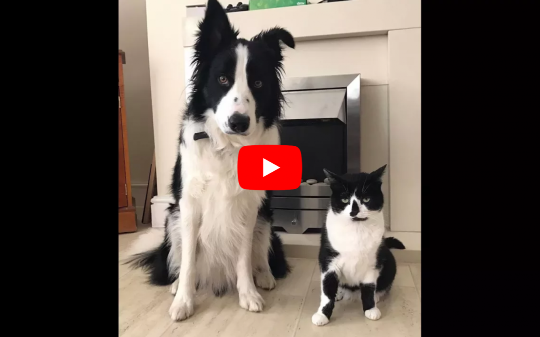 Three Years of Friendships and Fun for this Cat and Border Collie Duo!