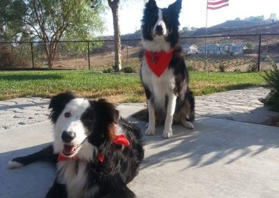 A pair of American Border Collies
