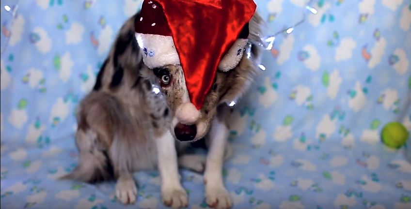 New Years Border Collie
