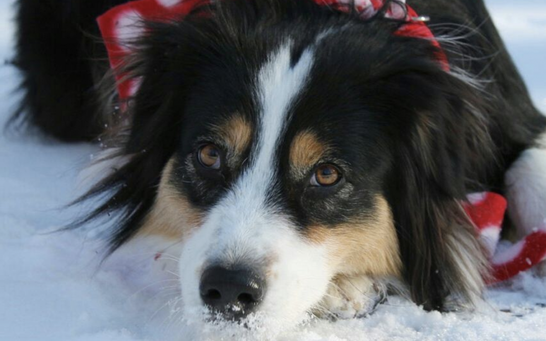Secret the Border-Aussie-Collie Goes Sledding… By Herself!
